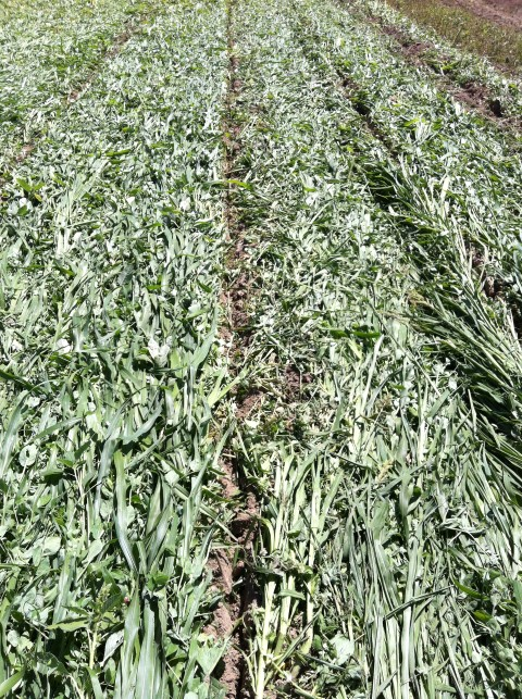 Strip till millet pois-2 (Small).JPG